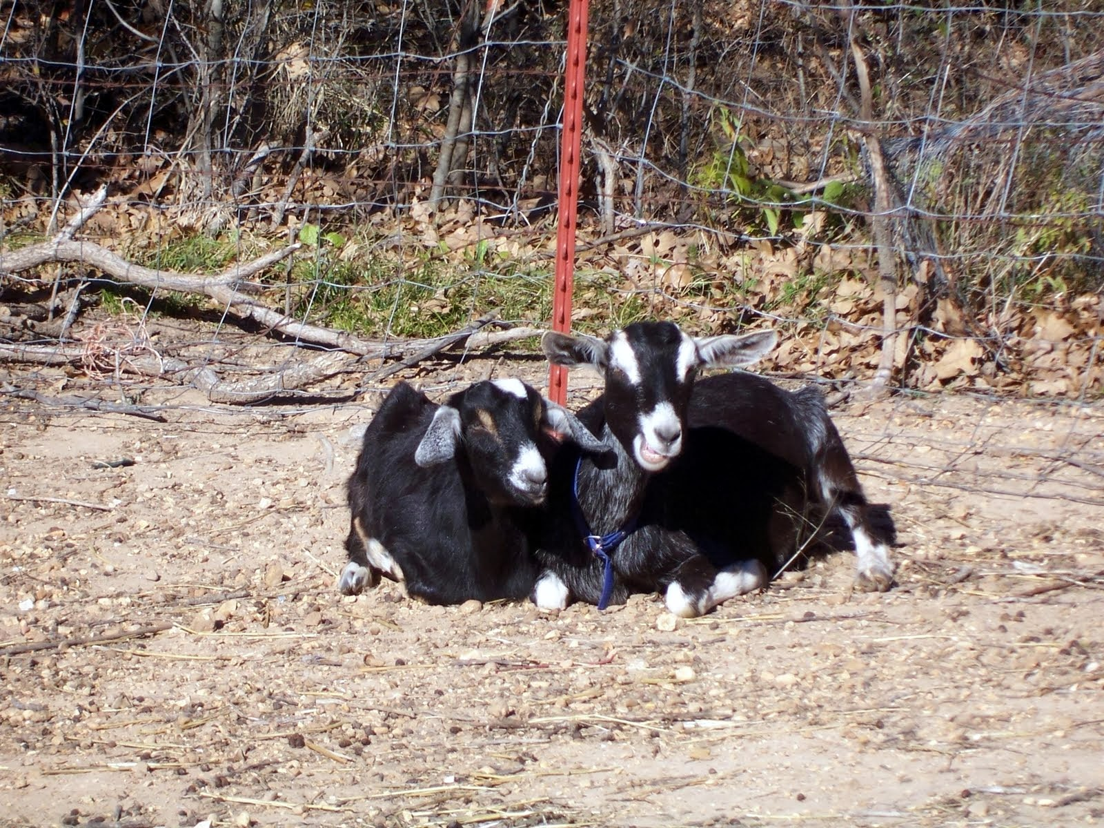 Goats contribute to your garden compost.