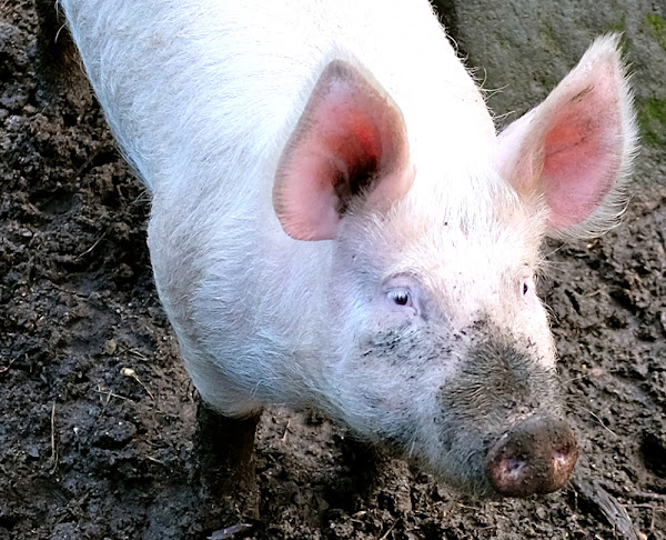 Large White Pig Breed Information | Modern Farming Methods
