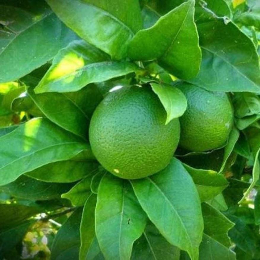 bibit tanaman jeruk nipis Banten