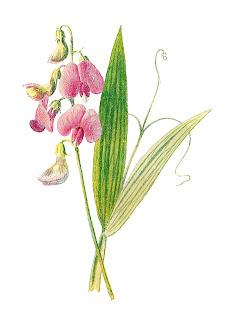 flower botanical wildflower illustration download