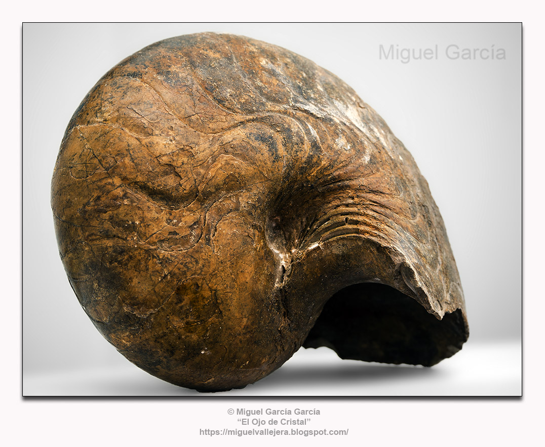 Fósil de Nautilus Peruvianus (48 millones de años)