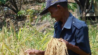 Beberapa Petani Cianjur Tanam Padi Huma Untuk Memenuhi Kebutuhan Pangan