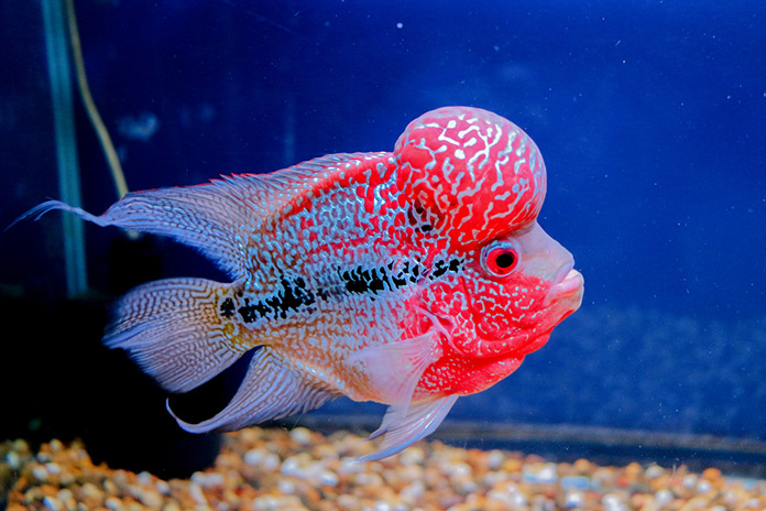 Flower Horn Fish Care Guide And Breeding