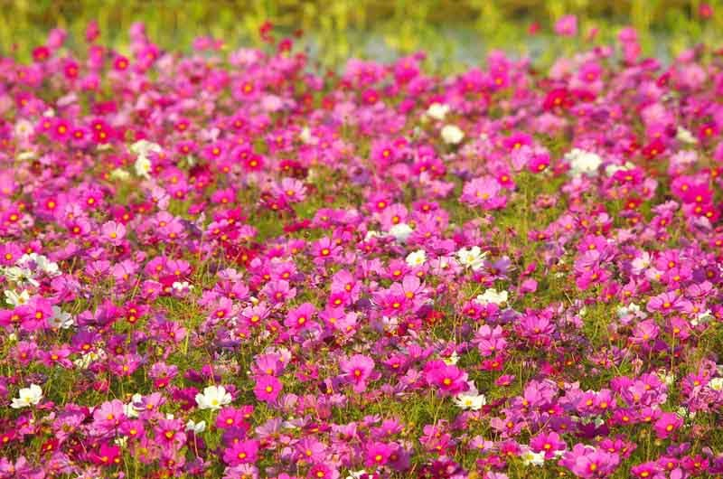 cosmos, flowers, blossoming