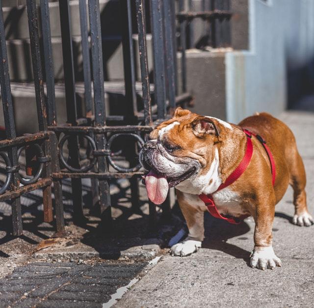 white-and-brown-english-bulldog