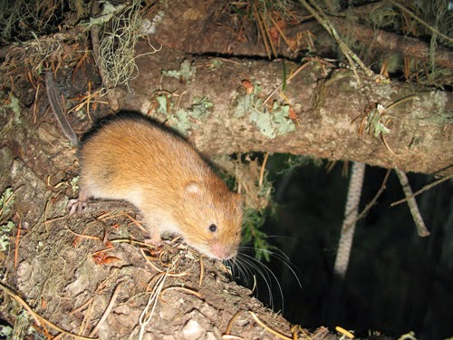 California red tree mouse, Arboromis pomo Mouse-Like Rodents - witness letter template