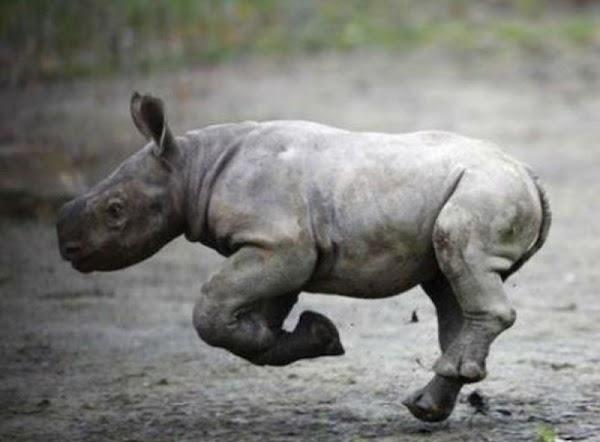 Solo quedan unos cuantos en el mundo pero nace rinoceronte negro en zoologico