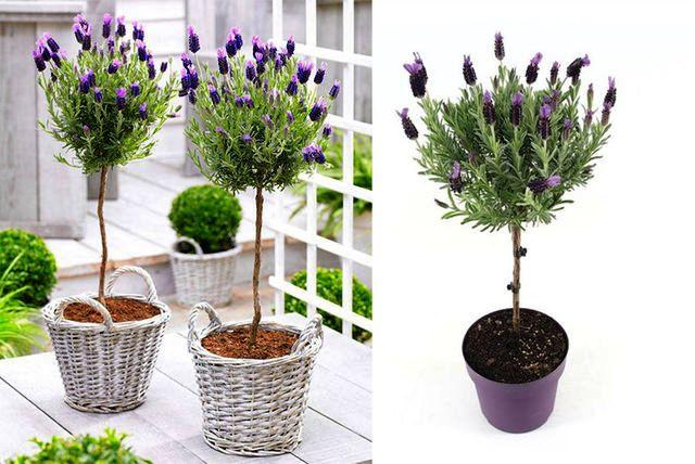 jenis tanaman hias lavender