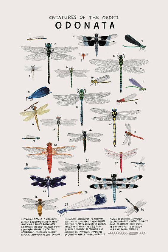 Odonatas