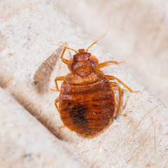 Symptoms,causes and treatment of bedbug -bloggerseoforyou
