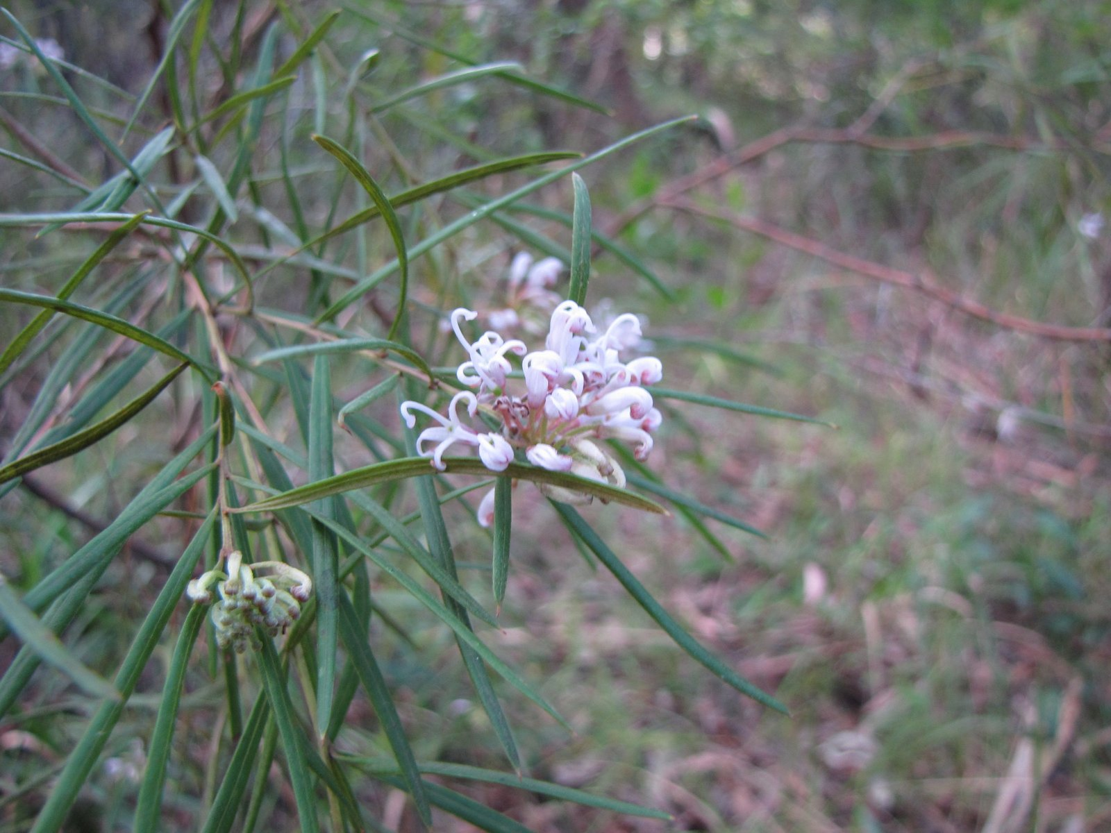 Sydneys wildflowers and native plants grevillea linearifolia grevillea linearifolia white spider flower mightylinksfo