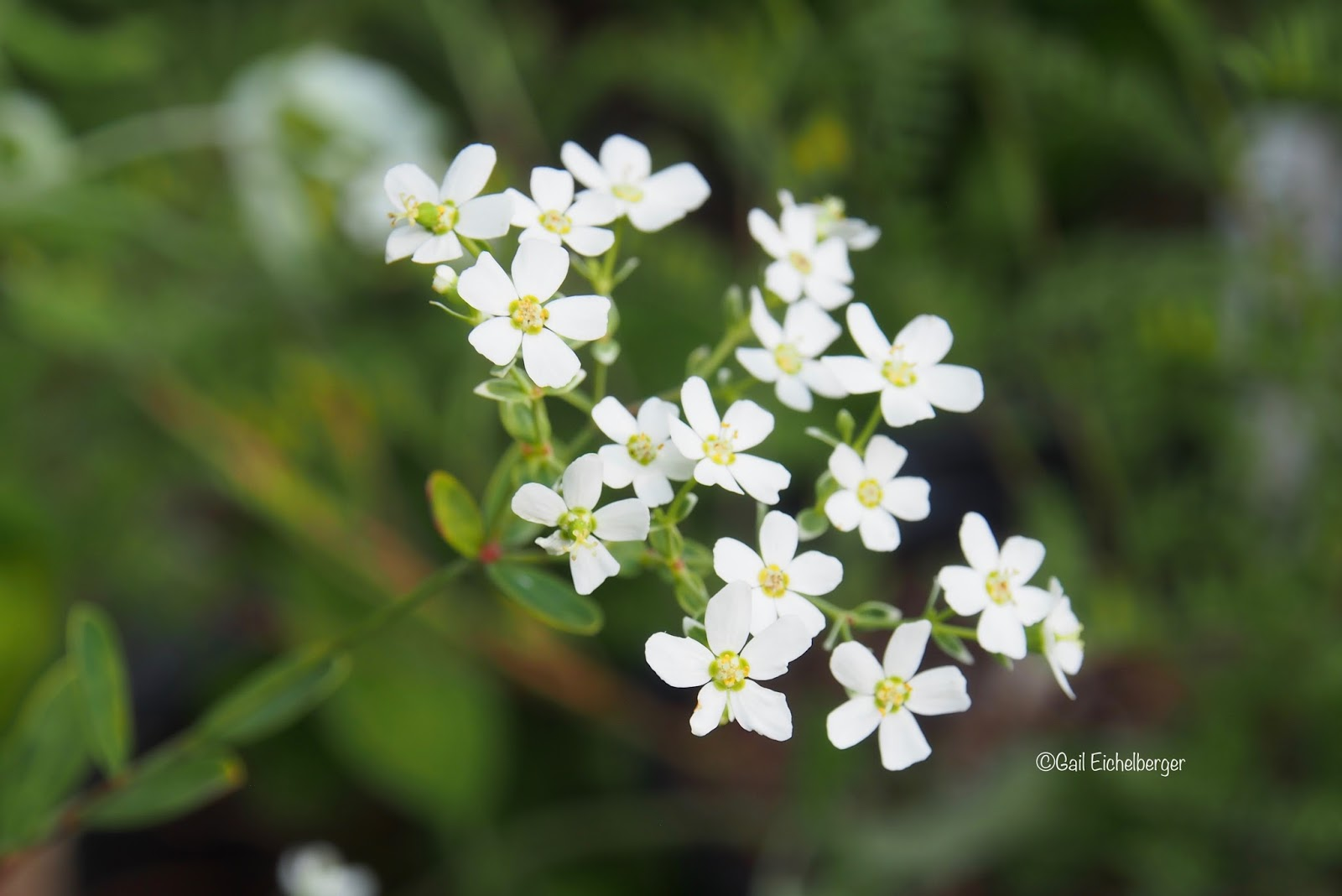 Clay and limestone wildflower wednesday flowering spurge its almost unnoticeable in the garden at most other times i often forget its there until the tiny white blooms grab my attention in early august mightylinksfo