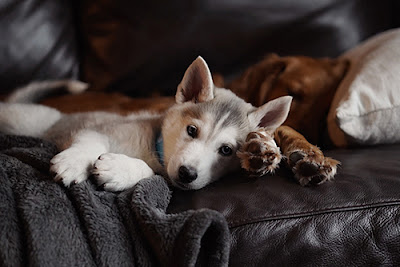 A grey and white puppy and a brown puppy lie together on a leather couch