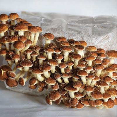 Chestnut mushroom supply