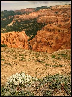 White Flower Cluster with Cedar Breaks behind.