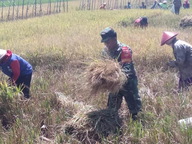 Babinsa Klaten Turun Ke Sawah Dampingi Petani