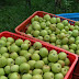 Jual Apel Malang Harga Kebun Langsung Dari Petani