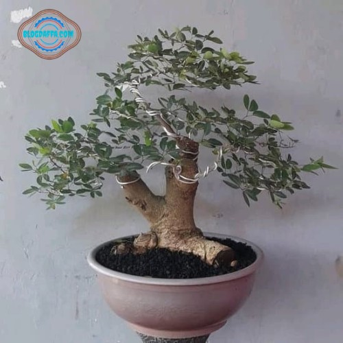 Bonsai Asam Belanda