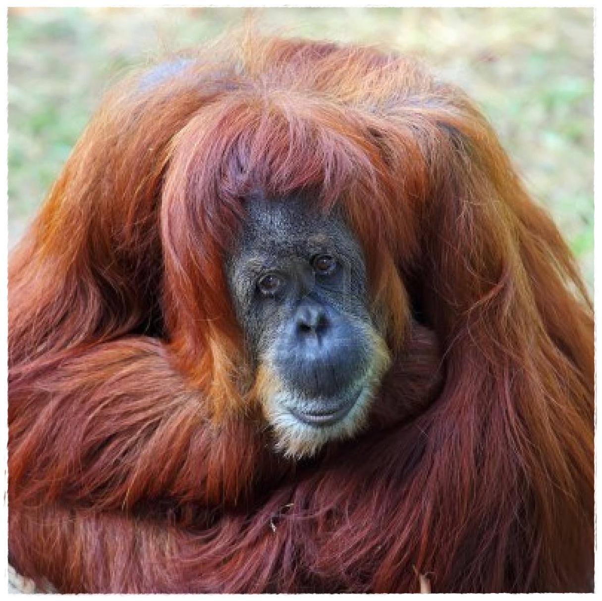 Gambar Orang  Utan Dunia Binatang