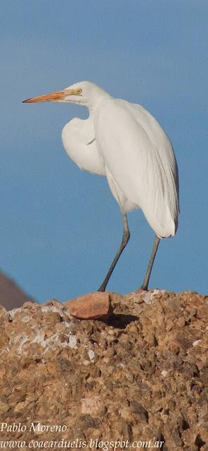 """alt=""""garza blanca,Ardea alba,aves de Mendoza,Garza en Mendoza"""""""