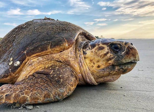 Loggerhead sea turtle found dead on the Vlora coast