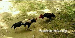 Cara membuat ayam aduan lebih agresif dan bermental baja