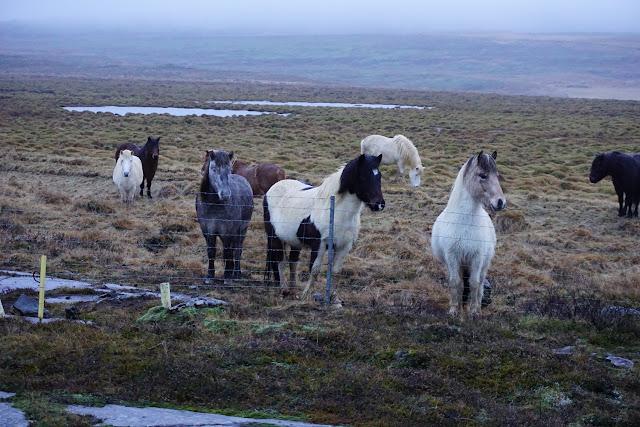 Icelandic horses of Iceland
