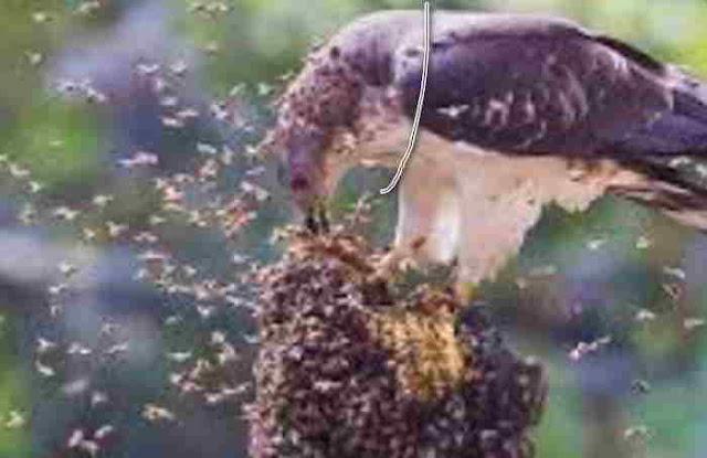 Madu Untuk Burung Berkicau