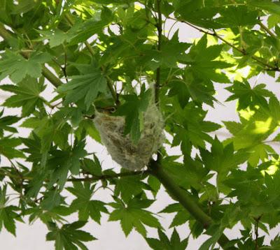 メジロ巣作り