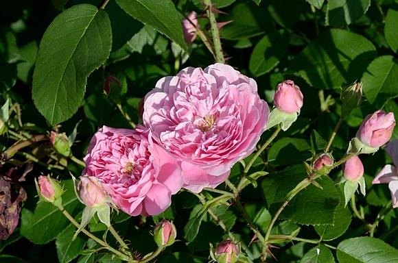 Harlow Carr роза сорт фото купить саженцы в Минске