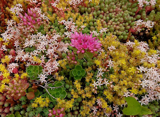 Forskjellige Sedum plantet sammen