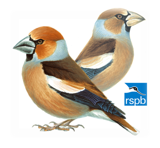 Hawfinches: male in the front, female in the back — image derived from the Royal Society for the Protection of Birds' illustrations