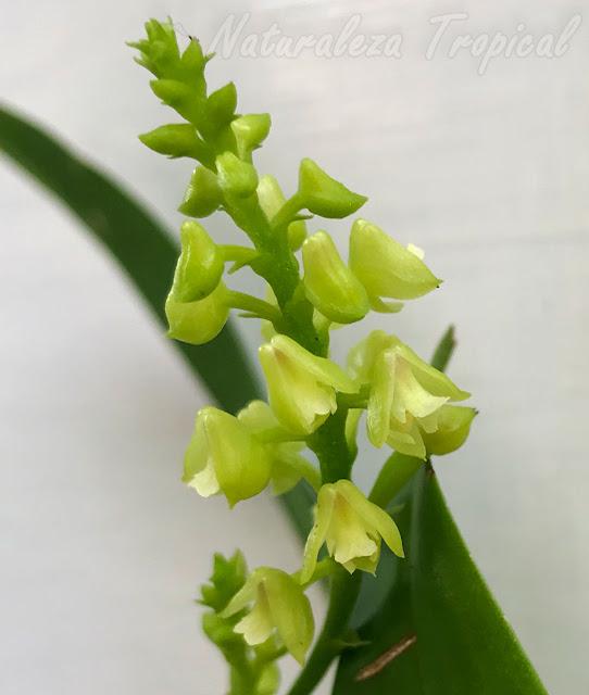 Flores típicas de la orquídea Polystachya concreta
