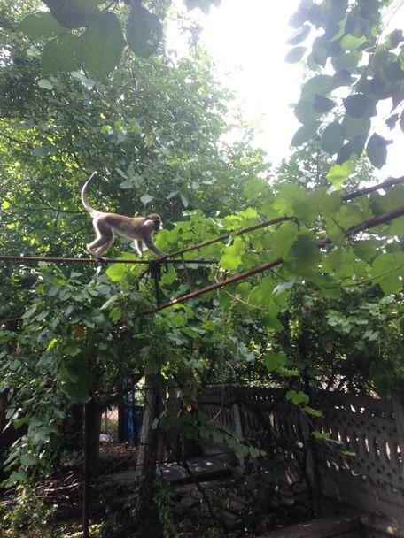 Неподалік Одеси на волі живе зграя мавп