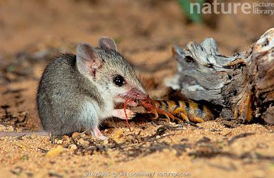Ratón marsupial pequeño de cola larga (Sminthopsis dolichura)
