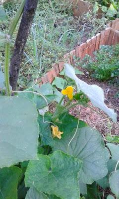 Orto biologico: i cetrioli e le cipolle