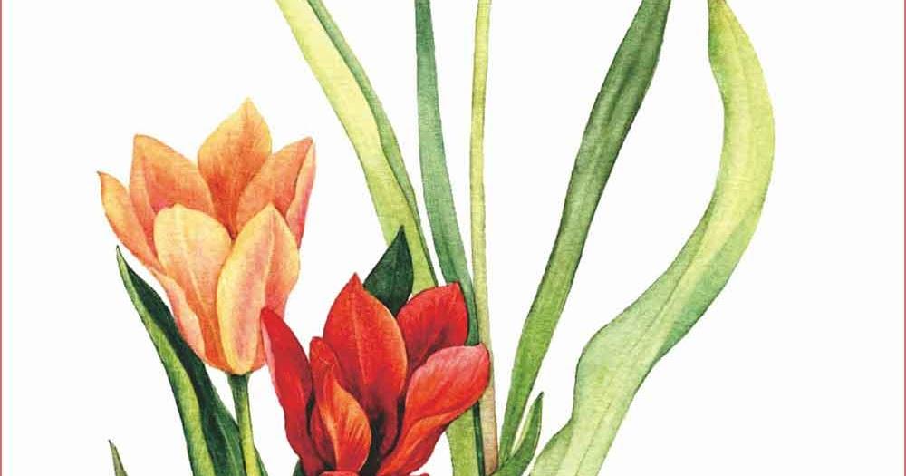 61 Contoh Gambar Lukisan Bunga Tulip