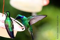 Colibrí orejivioláceo verde, Green Violet ear, Colibri thalassinus
