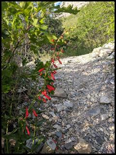 Red Beardlip Penstemon along the side of the trail in June