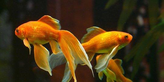 Inilah Harga Supplier Jual Ikan Mas Hias & Bibit Bandung, Jawa Barat