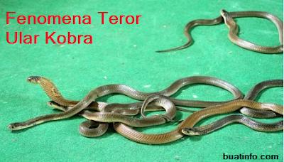 Buat Info - Fenomena Teror Ular Kobra, Penyebab dan Pencegahannya