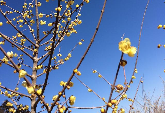 寳登山神社の蝋梅