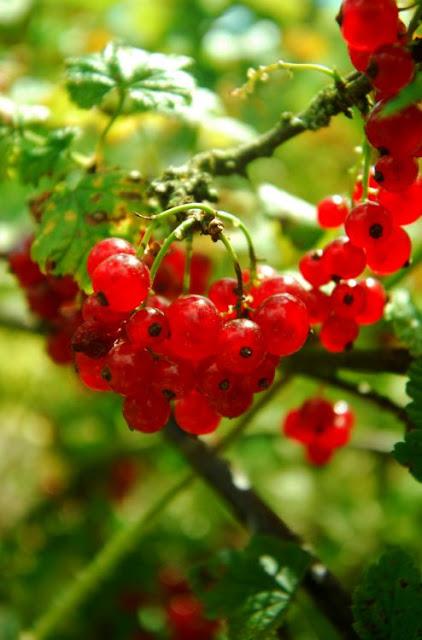 Czerwona porzeczka owoce