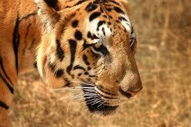 Un tigre de Bengala inicia cacería humana en la localidad india