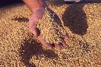 Veiller au grain