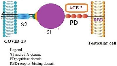 Ilustrasi ikatan antara virus dan sel dalam hal ini dicontohkan dengan reseptor ACE2 pada sel testis peptidase RBD receptor Receptor Binding Domain