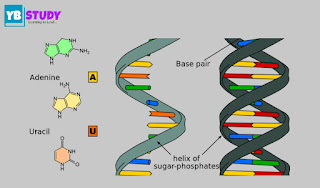 RNA : Defination, Types, Structure and functions