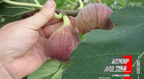 Инжир в Украине. Есть ли смысл развивать инжир в Украине? Ответ в теме Figs Ukraine
