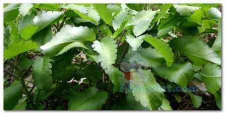 Kumpulan tanaman cocor bebek