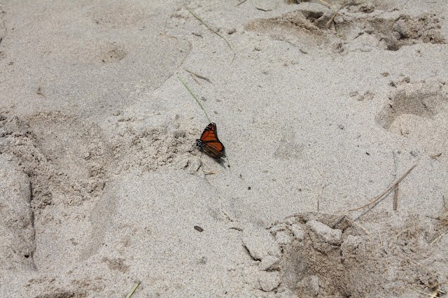 Monarch butterfly at beach at Rosy Mound